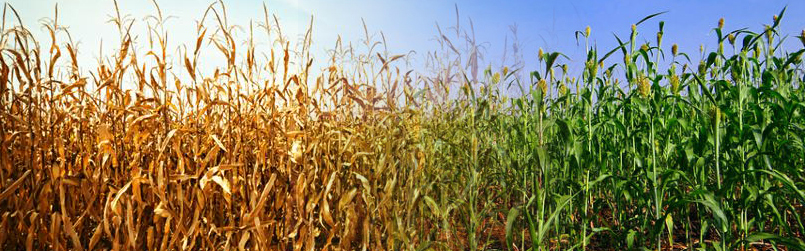 Drought phenotypes in cereal crop species