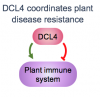 diagram showing DCL4 influence on plant immunity